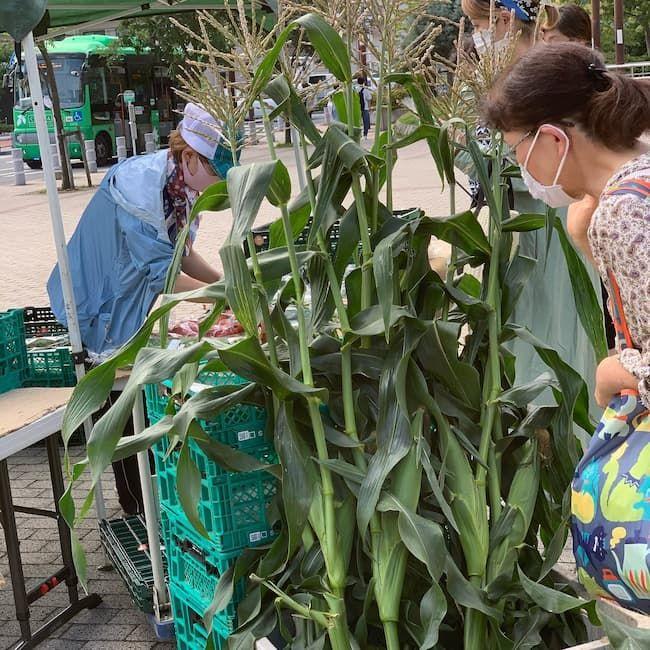 森田農園マルシェ とうもろこし収穫体験の様子