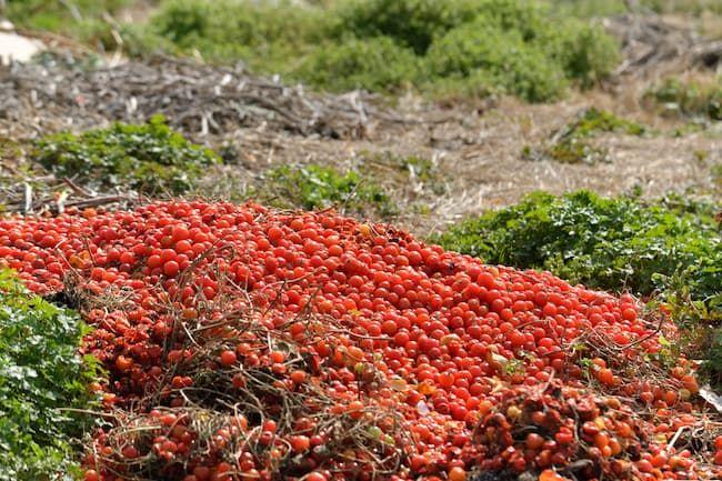 廃棄されたミニトマト