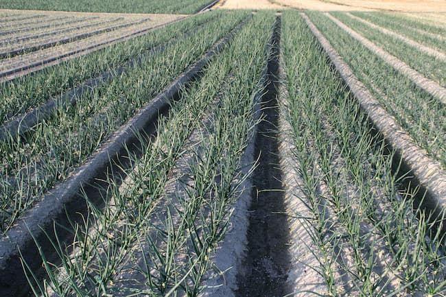 淡路島の玉ねぎのほ場 高畝による排水対策