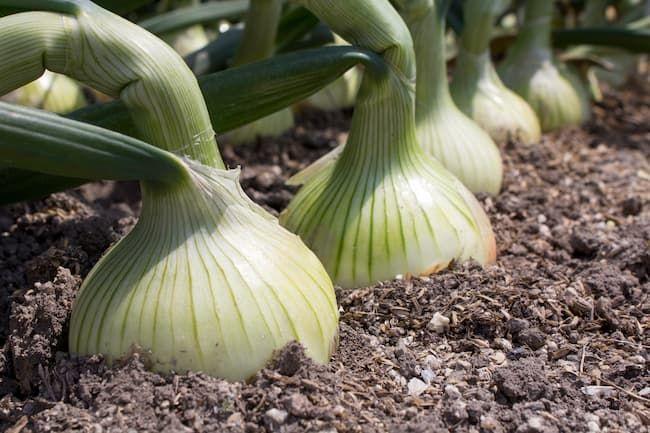 収穫前のよく肥大した玉ねぎ
