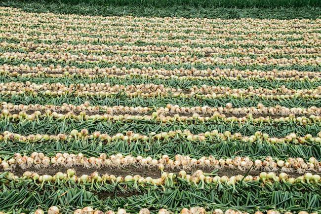 玉ねぎの収穫期