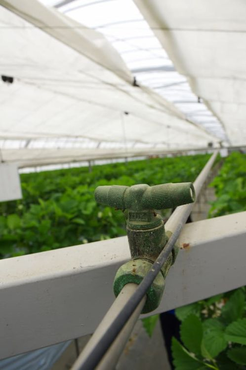 イチゴのハウス栽培 スプリンクラー