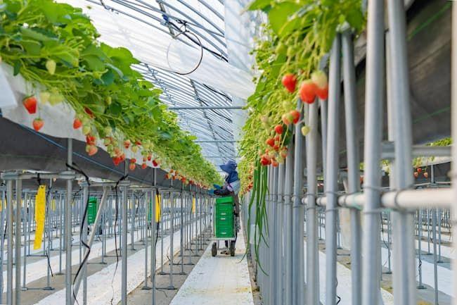イチゴの高設栽培 収穫作業も腰をかがめず立って行える