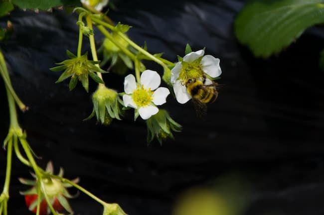 イチゴのハウス栽培 マルハナバチによる受粉