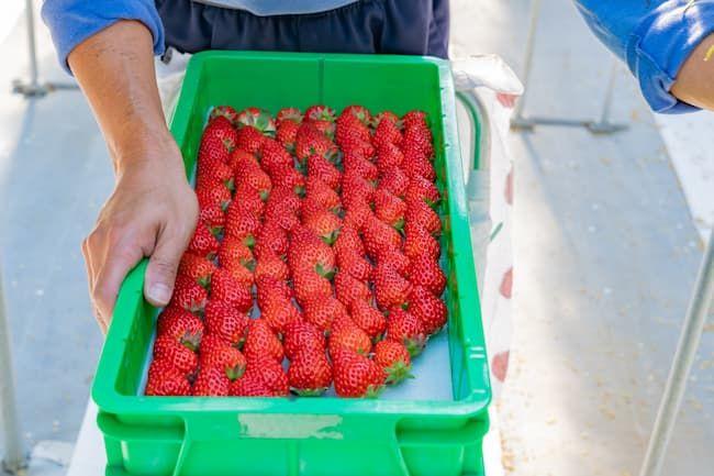 イチゴのハウス栽培 収穫と出荷調整