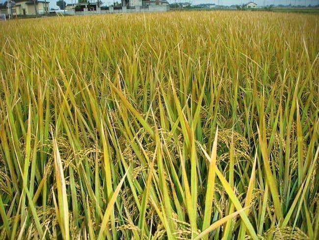 水稲の高温障害 止葉枯れ症