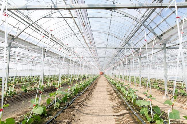 きゅうりの施設栽培