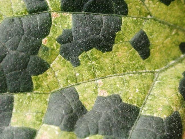 べと病のきゅうり 葉脈で区切られた黄緑色病斑