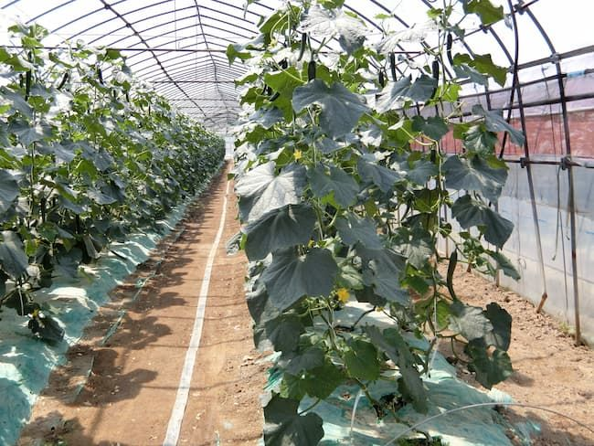 きゅうりの施設栽培では適度な株間と整枝で風通しをよくする