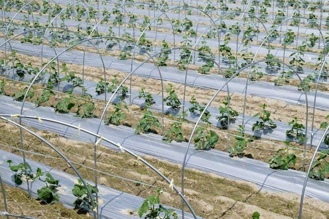 きゅうりの露地栽培