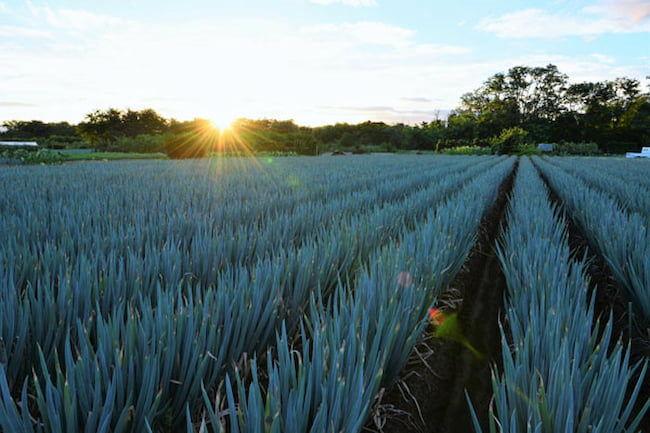 新規就農者としては最短となる、就農2年目でのネギの作付面積日本一を達成