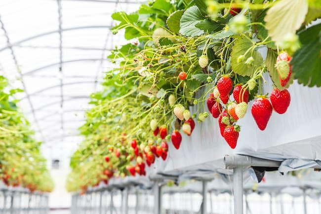 施設栽培のイチゴ