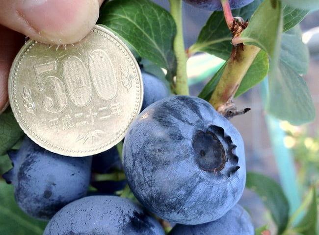 ブルーベリーファームおかざき 大きなもので500円玉ほどの大きさの実をつける品種もある