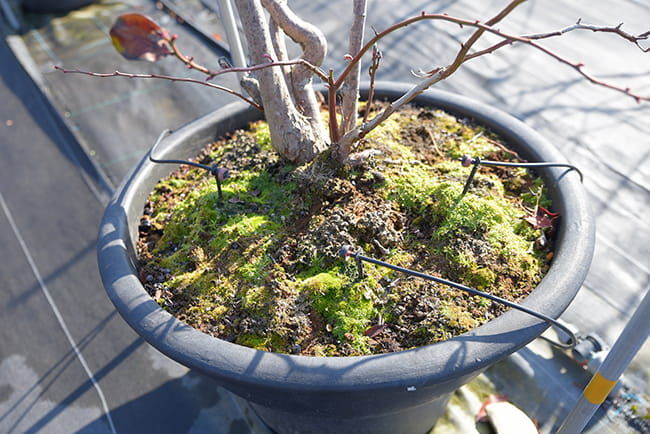 ブルーベリーファームおかざき 養液栽培システムによる点滴灌水