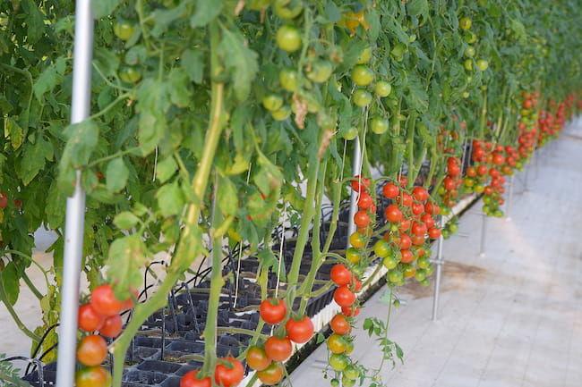 株式会社Happy Quality ロックウール栽培で、灌水と施肥を無駄なくきめ細かく管理