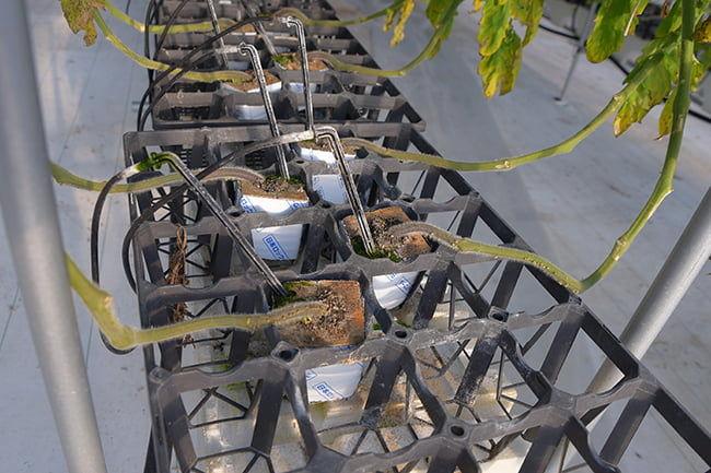 ロックウールキューブとAI灌水システムによって管理されるトマト