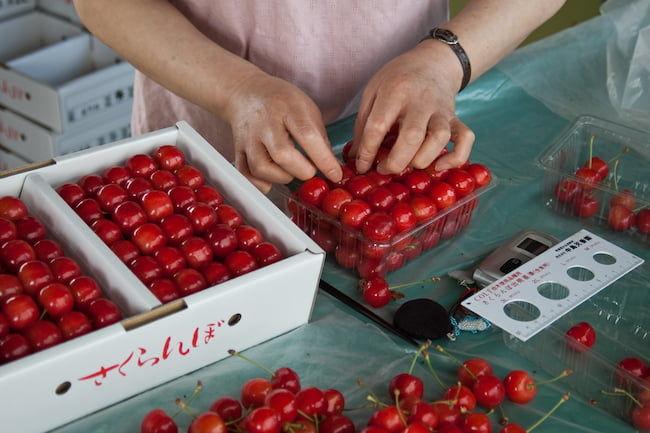 桜桃(さくらんぼ)のサイズ計測と出荷準備