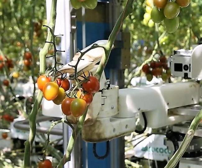 パナソニック株式会社が開発するトマト収穫ロボット<トマトを収穫する様子>
