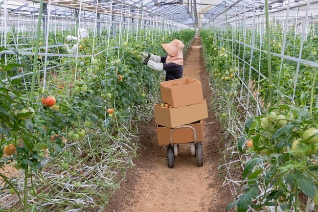 施設栽培のトマト 人手による収穫作業