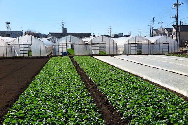 露地栽培・施設栽培の組み合わせた葉菜類の栽培