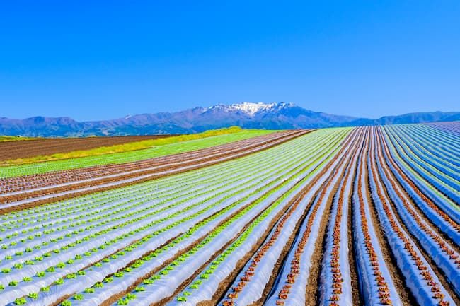 マルチフィルムなどの資材や農機などの初期費用だけで大規模栽培が可能な露地栽培