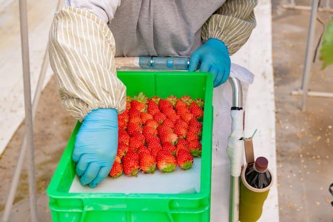 イチゴの摘み取り・出荷には多くの労働時間がかかる