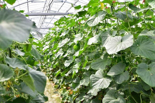 施設栽培のきゅうり