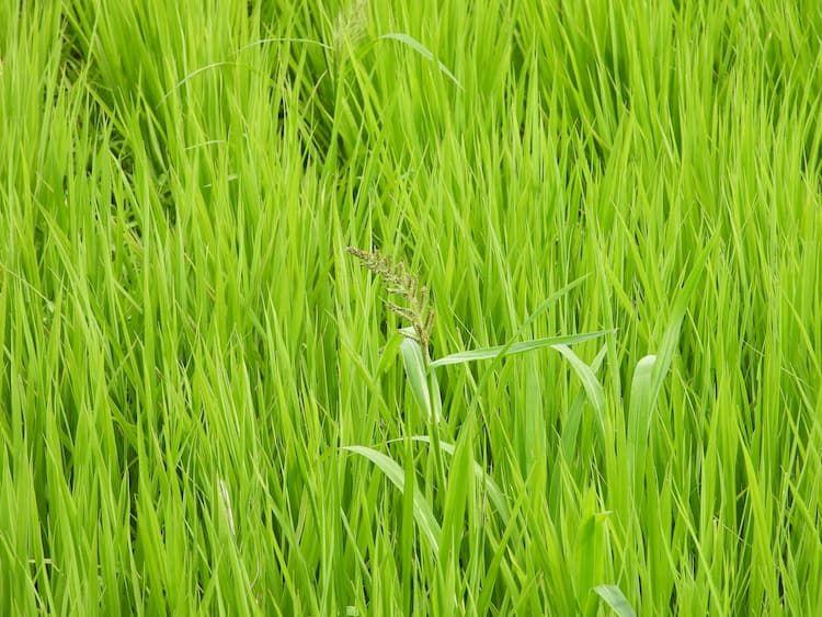 水稲初期一発除草剤の効果を高めるには? 省力化を目指す防除体系と散布のコツ