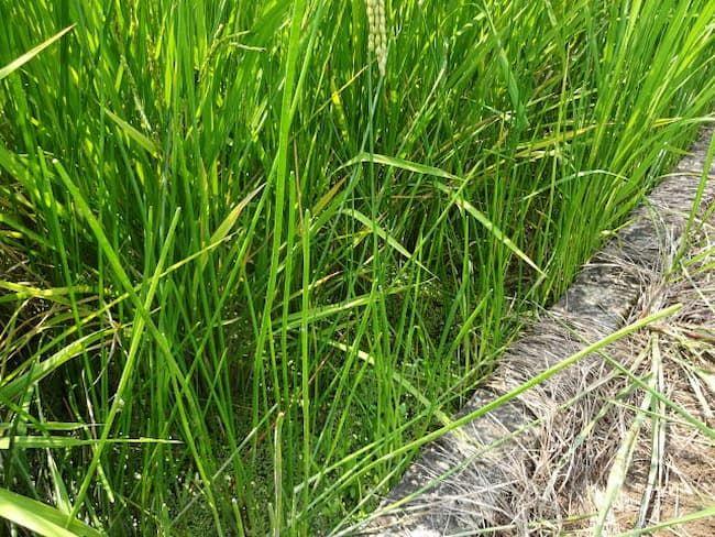 クログワイ 塊茎から針金状の茎が数多く立つ