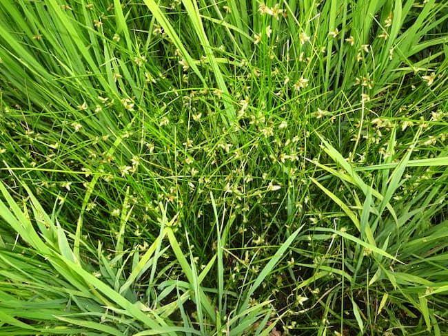 水稲の間で繁茂するイヌホタルイ