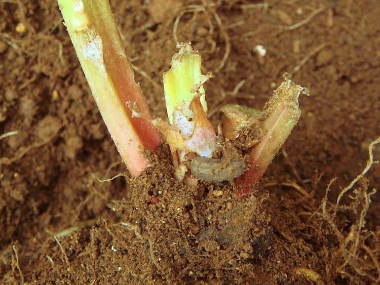ネキリムシ類の対策におすすめの農薬や天敵は? 被害の特徴と防除方法を徹底解説