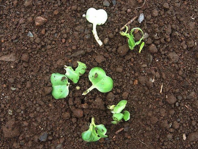 カブラヤガ食害 発芽直後の大根