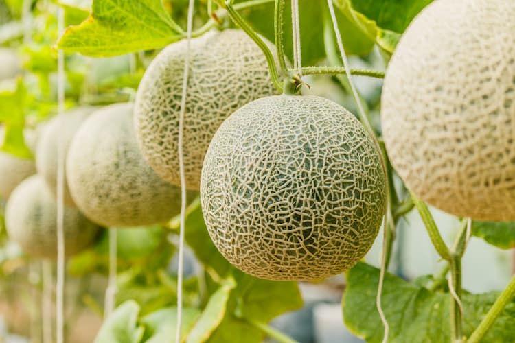 温室メロン栽培の特徴は? 高度な栽培管理が求められる高収益作物