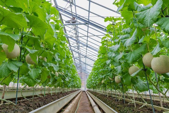 温室メロンの立体栽培