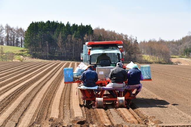 ジャガイモ(馬鈴薯)の植え付け