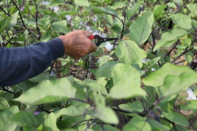 夏秋ナスの枝葉管理