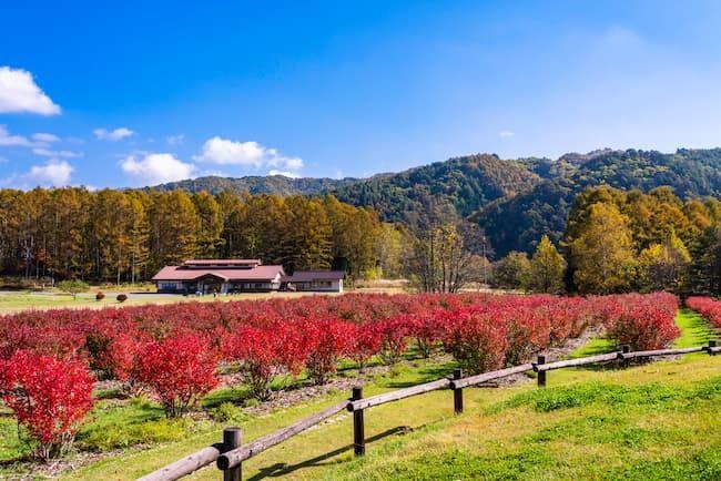 ブルーベリー観光農園の紅葉
