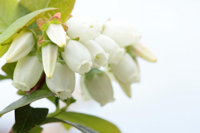 ノーザンハイブッシュ系ブルーベリー(チャンドラー)の花