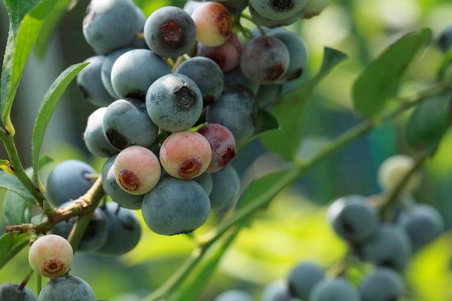 ラビットアイ系ブルーベリー(メンデイト)の果実