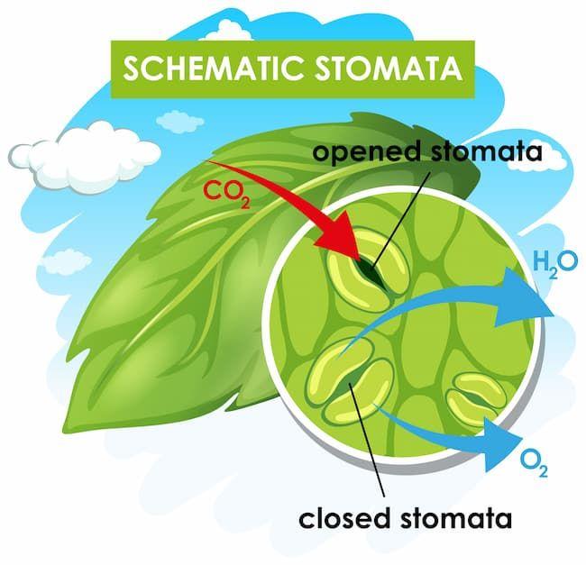植物の気孔 模式図
