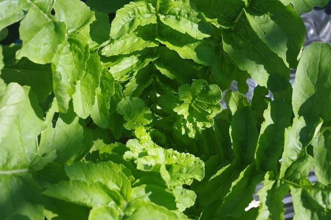 カルシウムには茎葉を丈夫にする効果がある