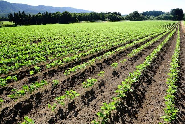中耕除草と培土が済んだ小豆のほ場