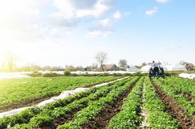 ジャガイモ(馬鈴薯)の中耕除草