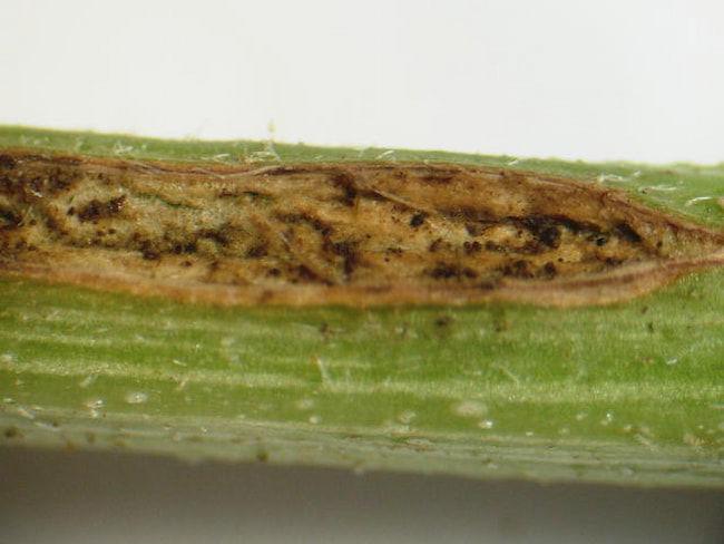 スイカのつる枯病 発病部位には多数の小黒粒が生じる