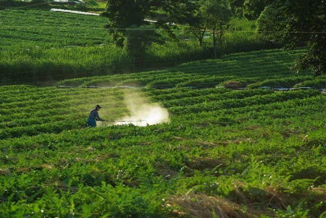 スイカのほ場 農薬散布