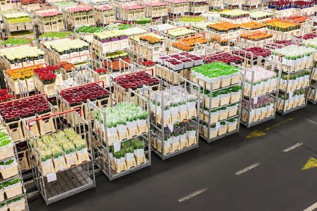 オランダの花市場に集められ、オークションを待つ花き