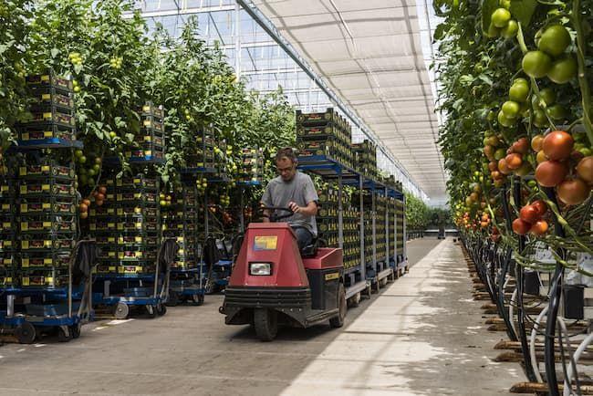 環境制御が行き届いたトマト栽培ハウス(オランダ・ハーメルン)