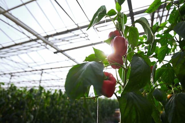 オランダ パプリカの栽培施設