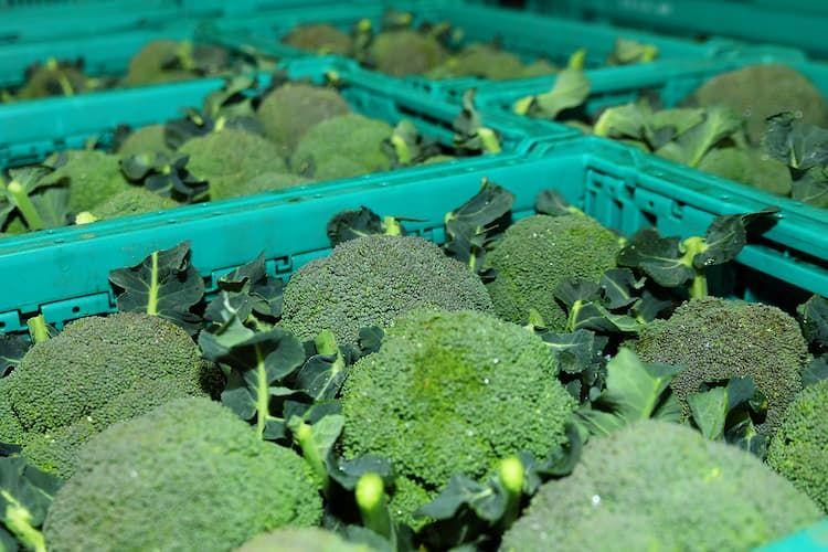 ブロッコリー栽培に適さない石川県で大規模栽培を実現! 規模拡大のキーワードは「期間借地」