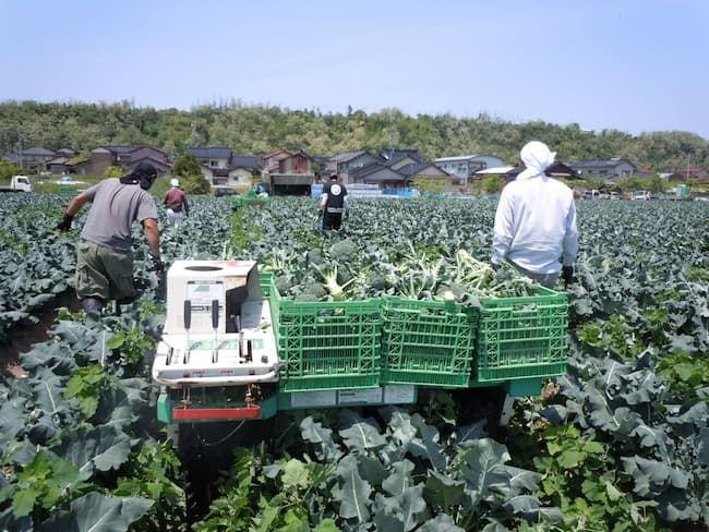 ブロッコリー収穫の様子